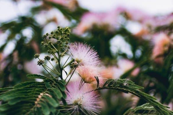 Albicja biało-różowa (jedwabista)