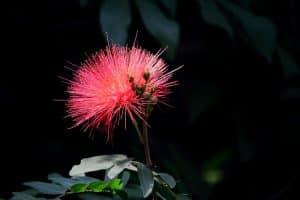 Albicja jedwabista - kwiat