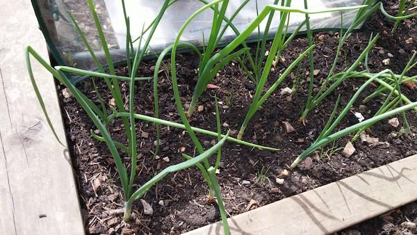 cebula uprawa w ogrodzie