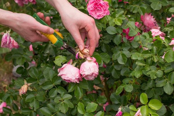 cięcie róż jak ciąć róże