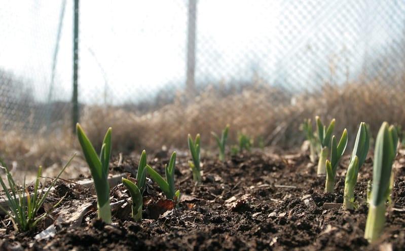 jak sadzić czosnek w ogrodzie
