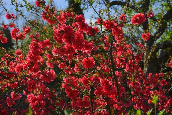 pigwowiec japoński krzew
