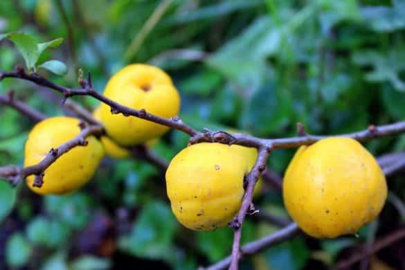 pigwowiec japoński owoce