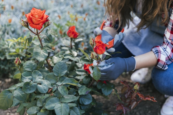 przycinanie róż