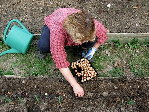 sadzenie cebuli z dymki