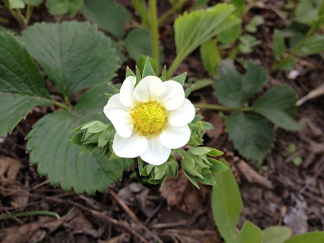 kwiat truskawka