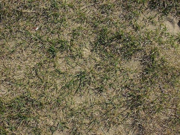 dosiewka trawnika
