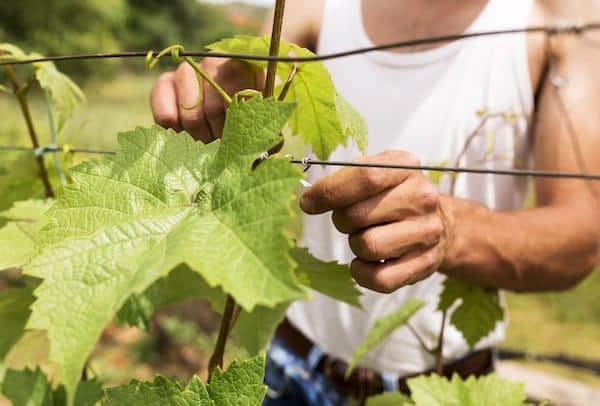 przynianie winogron
