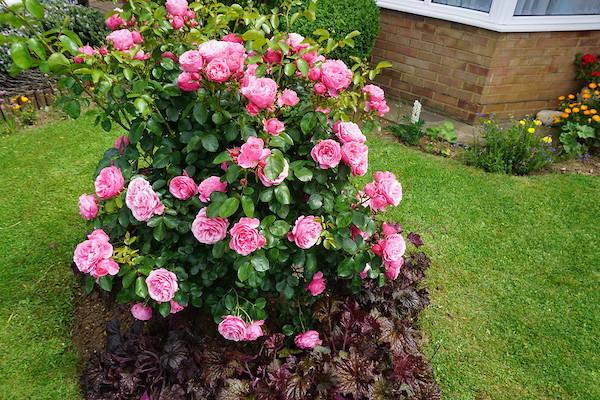 róża krzew