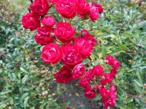 Róże miniaturowe