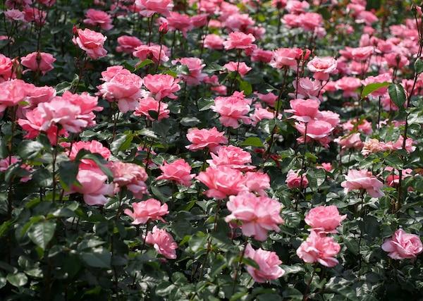 Róże wielkokwiatowe rabatowe