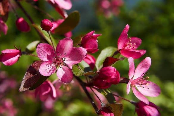 jabłoń ozdobna malus