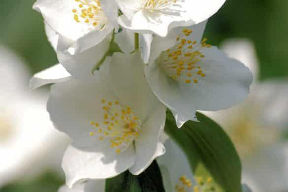 jaśminowiec wonny kwiat