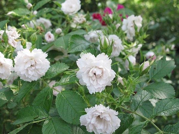 roże parkowe