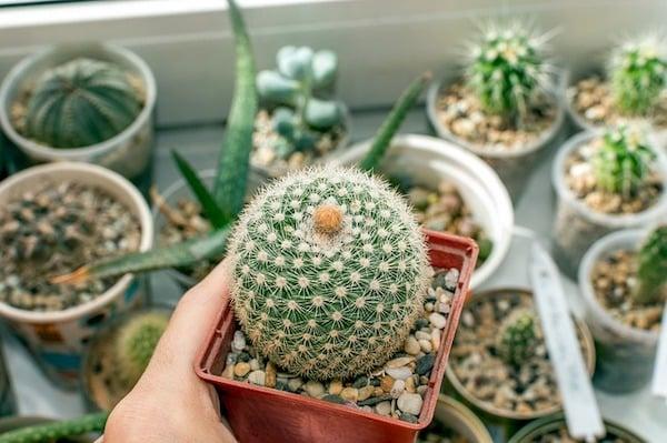 przesadzanie kaktusów