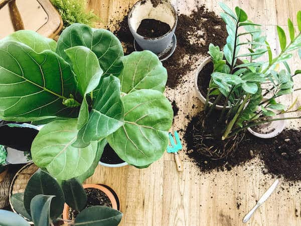 rośliny doniczkowe przesadzanie