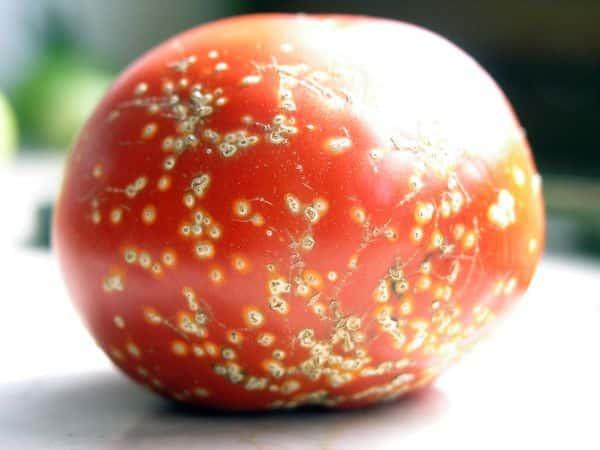 Rak bakteryjny pomidora
