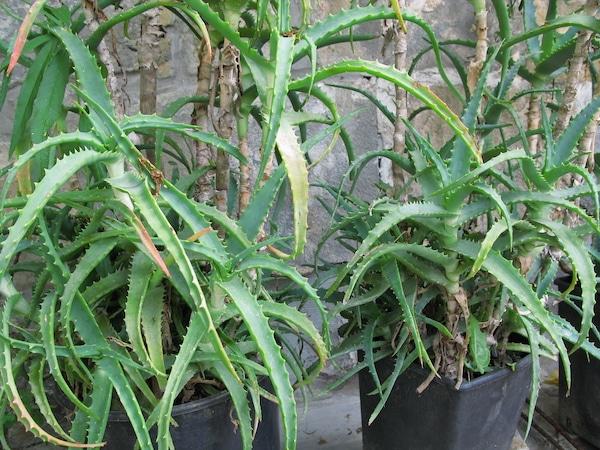 Aloe arborescens aloes drzewiasty