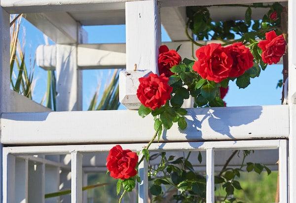 roża pnąca w doniczce