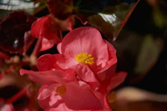 begonia stale kwitnaca