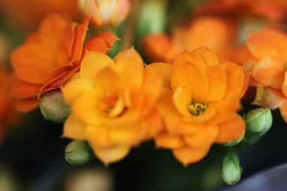 Kalanchoe blossfelda