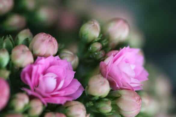 Kalanchoe blossfelda 2