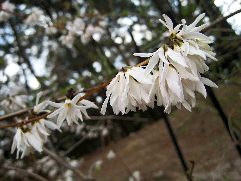 Abeliofylum koreańskie kwiaty