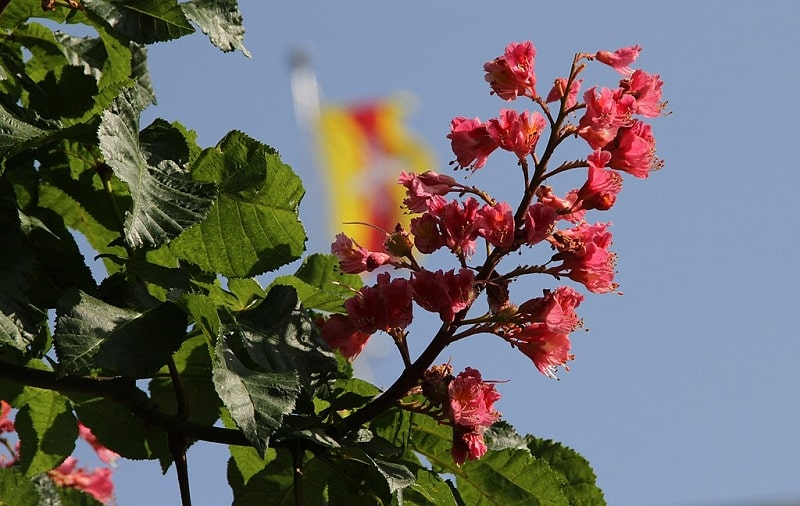 Kasztanowiec czerwony kwiaty