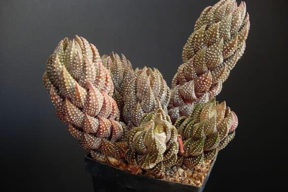 Haworsja - 'Haworthia coarctata'