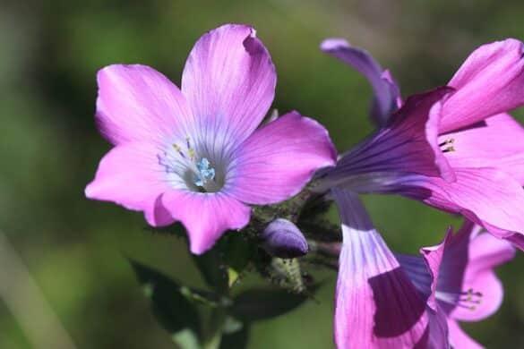 Len (Linum heterosepalum)