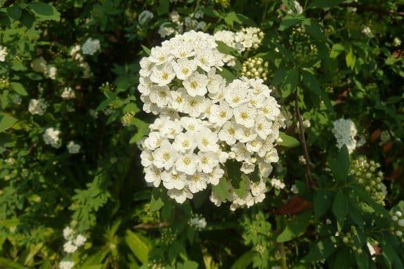 Tawuła nippońska kwiaty 2