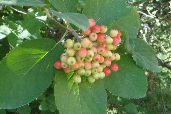 Kalina hordowina owoce
