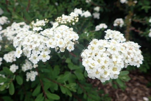 Tawuła nippońska kwiaty