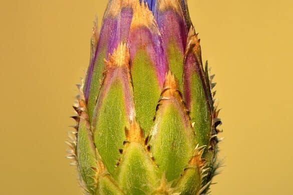 Pąk kwiatowy chabra bławatka