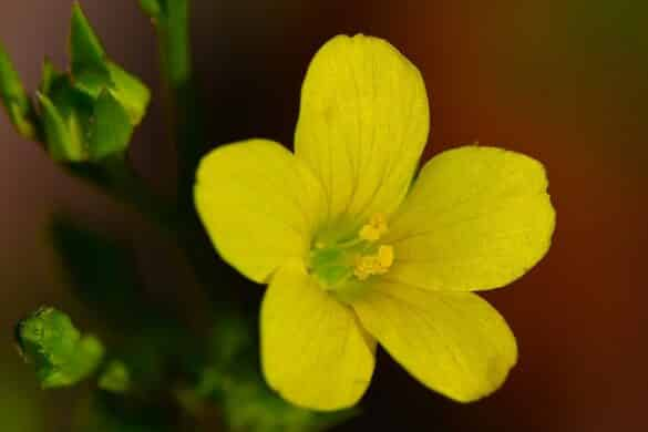 Len (Linum sulcatum)