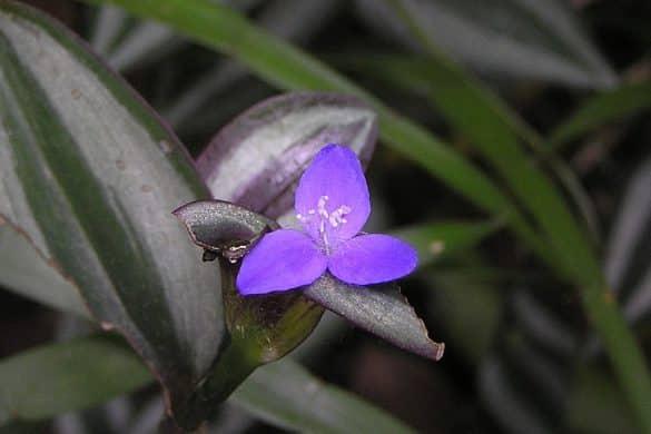 Trzykrotka pasiasta kwiat