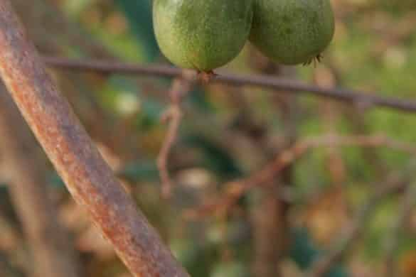 Aktinidia ostrolistna owoce