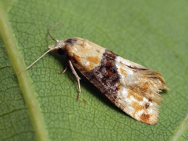 Zwójka kwasigroneczka (Eupoecilia ambiguella)