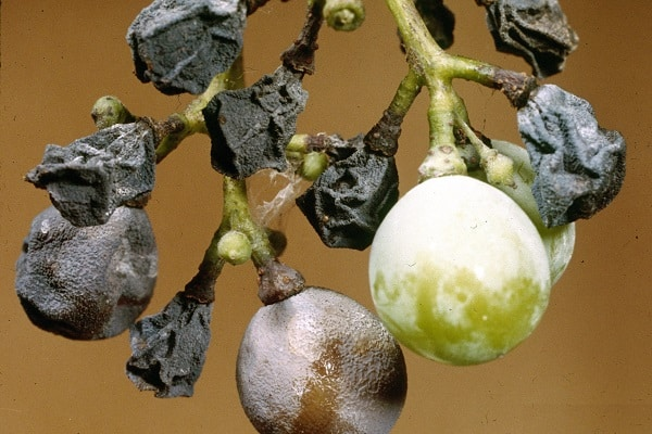 Czarna zgnilizna winorośli