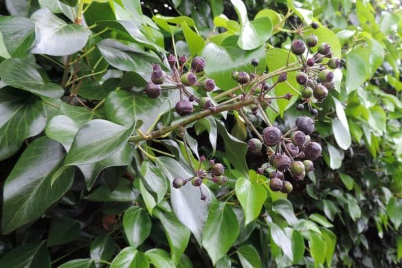 Bluszcz kanaryjski owoce