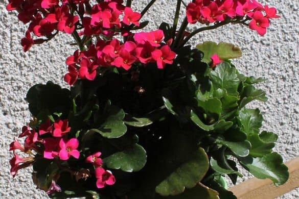 Kalanchoe blossfelda 3