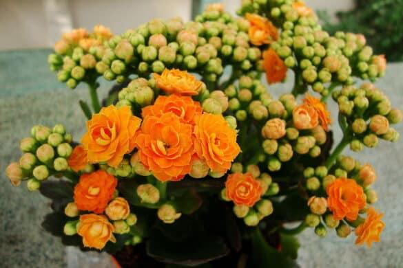 Kalanchoe blossfelda 4