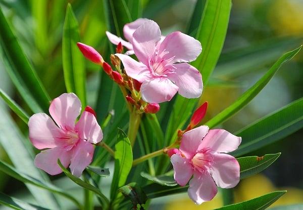 Oleander pospolity kwiaty