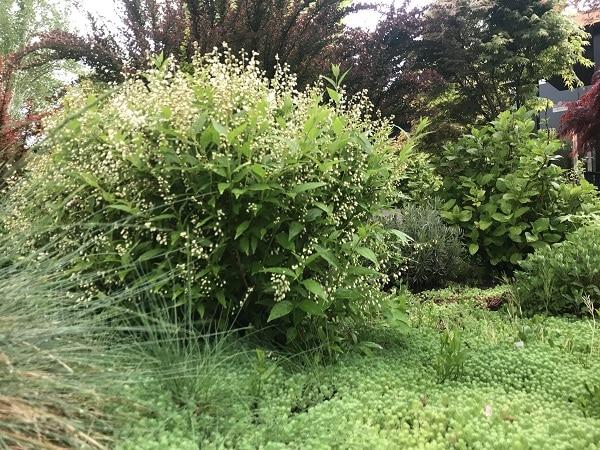 Reynoutria japonica pokrój