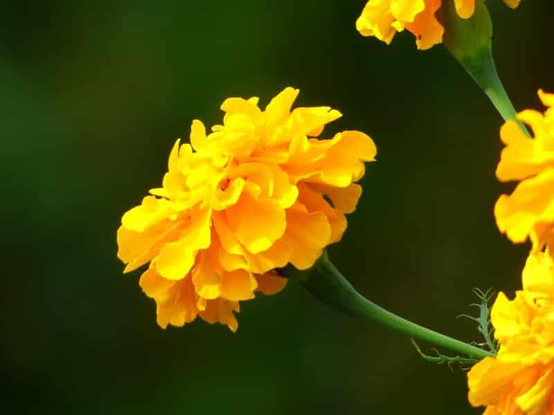 Aksamitka wyniosła (Tagetes erecta)