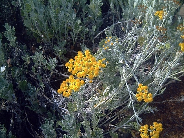 Senecio cineraria kwiaty