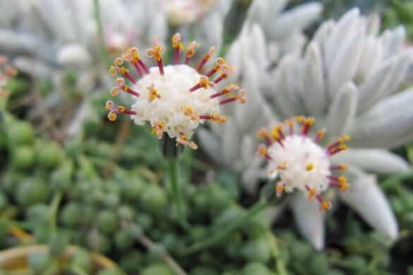 Starzec Rowleya kwiaty
