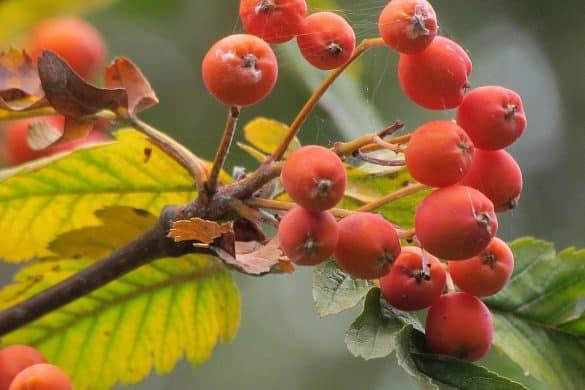 Jarząb szwedzki owoce