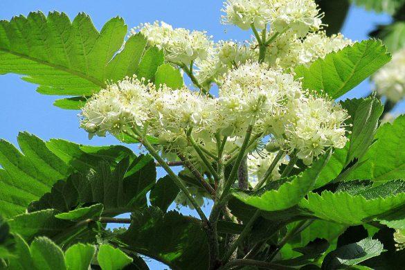 Jarząb szwedzki kwiaty