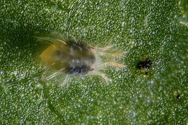 Przędziorek chmielowiec (Tetranychus urticae)